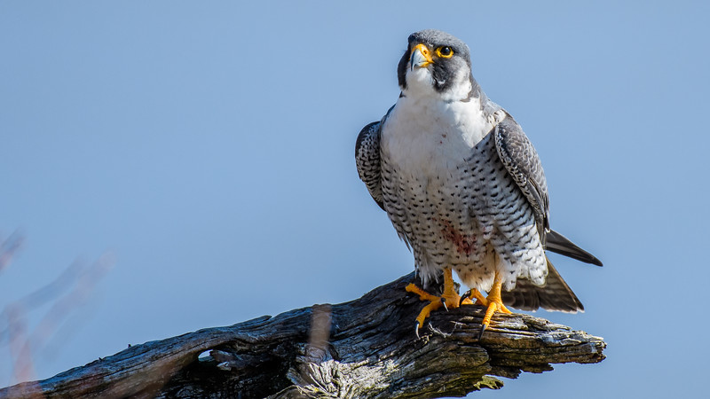 Peregrine Wallpaper-4447.jpg
