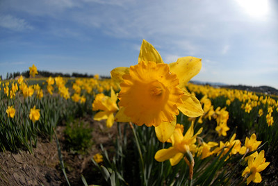 In the Field - Photographing a Daffodil Farm