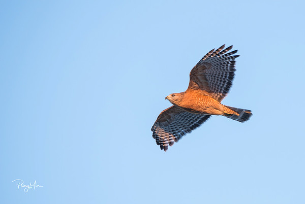 Red-shouldered hawk Schertz-1-sharpen-sharpen.jpg