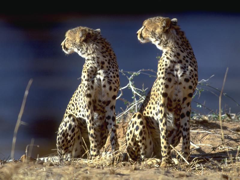00985 Two Cheetahs 3000.jpg