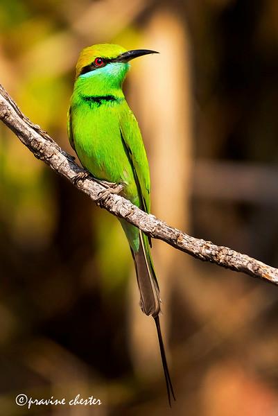 Green Beeeater