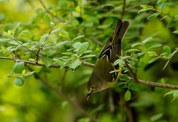 Shrikes & Vireos