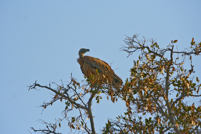 African White-backed Vulture, Mashatu Game Reserve, Botswana