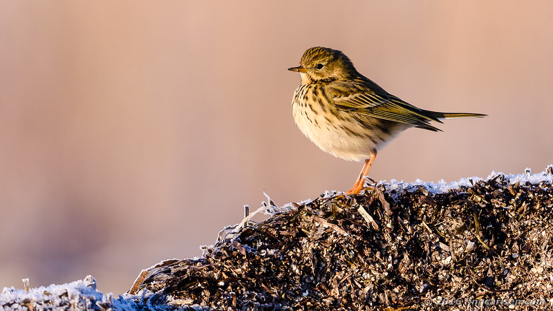 Engpiber - Anthus pratensis - Meadow Pipit