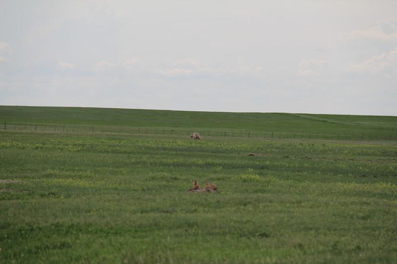 20140523-172-BadlandsNP-PrairieDogsCoyote.JPG