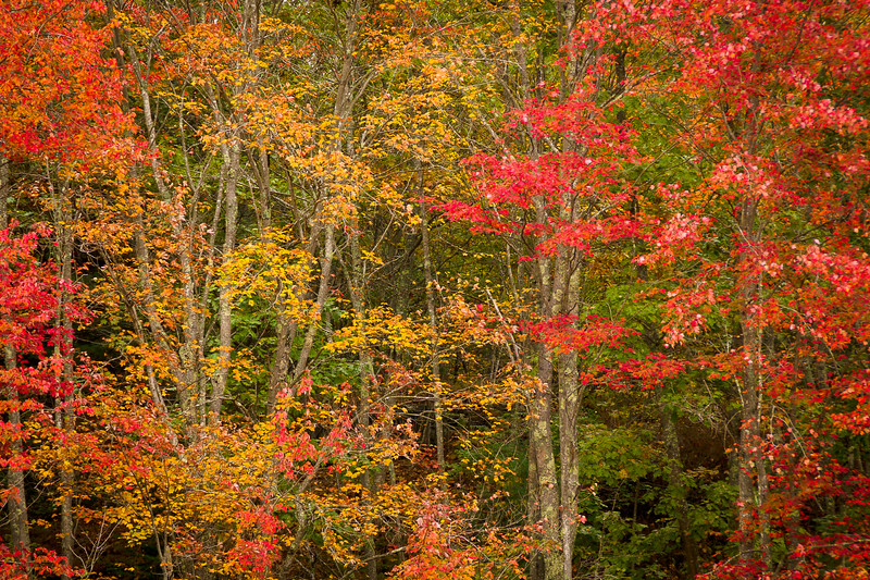 'Fall Forest' - Pemaquid Point, Maine, USA