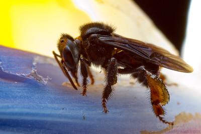 Trigona stingless bee.  Curitiba, Paraná, Brazil