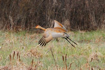 Crex Meadows cranes 4-21-2011