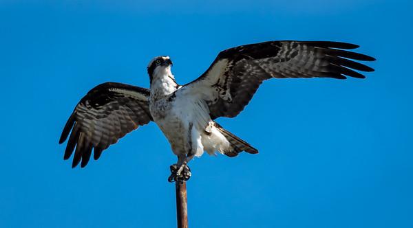 Arial Predators   (birds of prey)