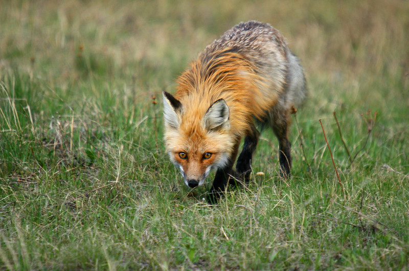 A red fox stalks for a meal