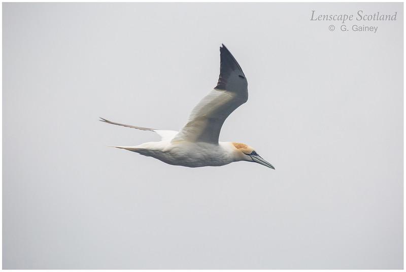 Flying gannet (1) (Unst)