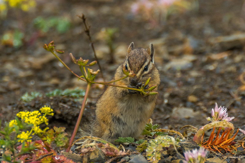 Chipmunk Feasting