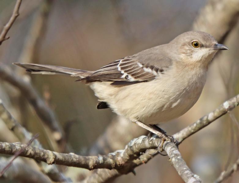 Mockingbird 187