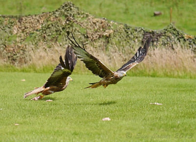 Red Kite (Wales 2013)