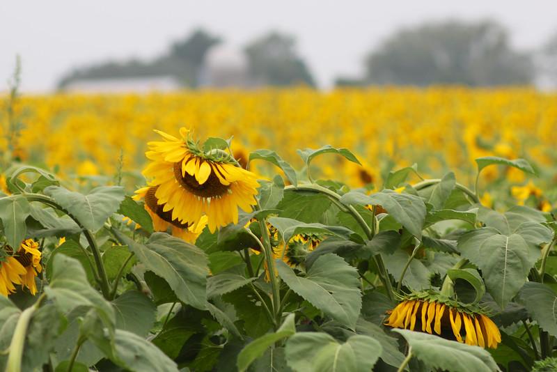 FamilySunflowers_ 135.jpg