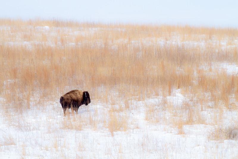 Bison Neal Smith National Wildlife Refuge NWR Prairie City IA  IMG_1935.jpg
