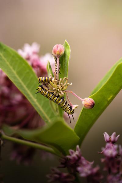 Monarch caterpillars on Milkweed, in Area 5 (Photo by Chelsea Marcantonio)