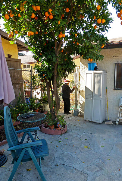P1010706 Navora under her orange tree.jpg