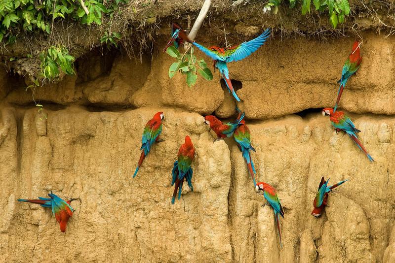 Red-and-Green Macaws (4) at Macaw Lick near Manu Wildlife Center, Peru (2008-07-10).psd