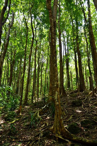 DSC_7110-loboc-man-made-forest-trees.JPG