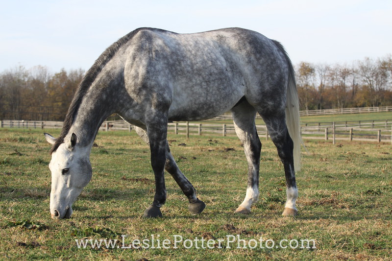 Dapple Gray Horse Grazing in Pasture in Autumn