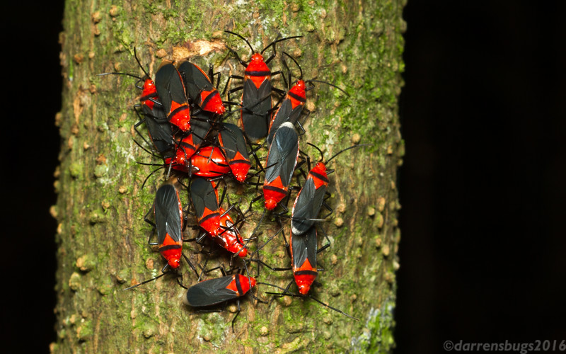 An aggregation of true bugs (possibly Red Bugs, Pyrrhocoridae) from Monteverde, Costa Rica.
