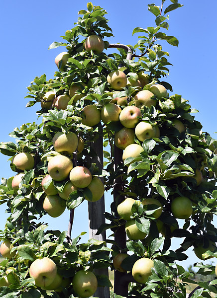 A view of an apple tree loaded with Ginger Gold apples at Autumn Hills Orchard in Groton. SUN/David H. Brow