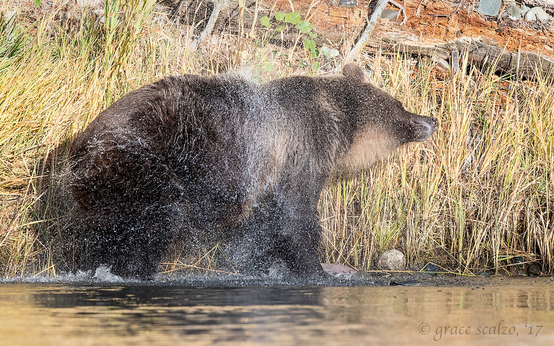 Grizzly bear fishing sequence #6