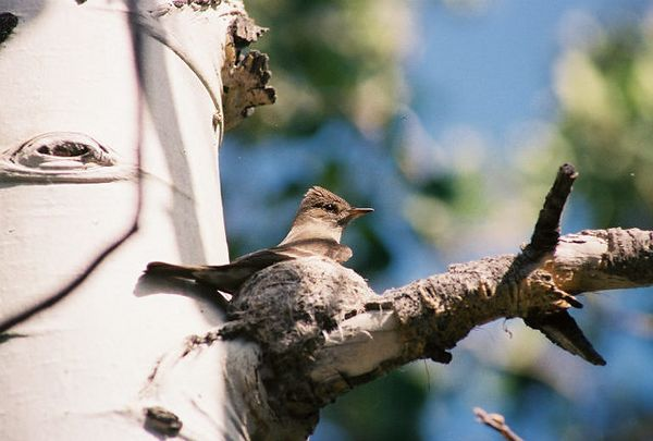 7/7/05 Western Wood Peewee (Contipus sordidulus). Early evening near cabin#6 at Convict Lake Resort.