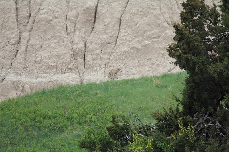 20140523-163-BadlandsNP-MountainGoats.JPG