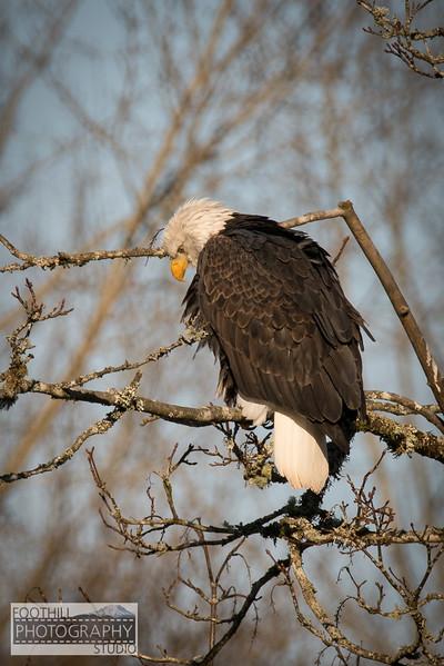 Eagle Sml-13.jpg