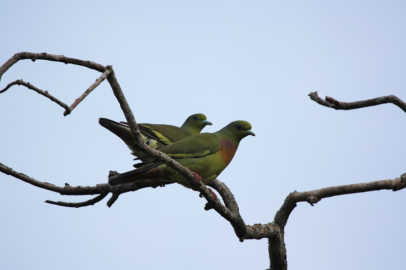 Orange-breasted green-pigeon.jpg