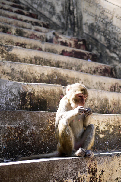 A monkey with his stolen food on Mt Popa, in Bagan, Burma (Myanmar)