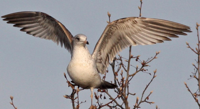 Ring-Billed Gull in tree Contempo