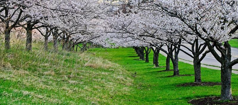Cherry Blossoms Spring 2021