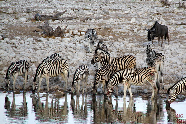 Zebras in Eotsha National park, Namibia 2