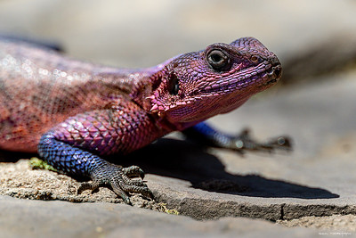 Agama Mwanzae (Mwanza Flat-headed Rock Agama)