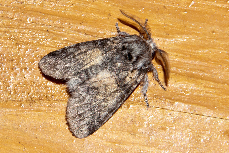 Gluphisia - Common - (Gluphisia septentrionis) - Dunning Lake - Itasca County, MN