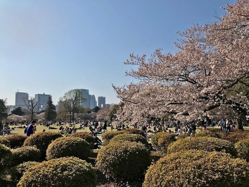 Shinjuku Gyoen in cherry blossom time.