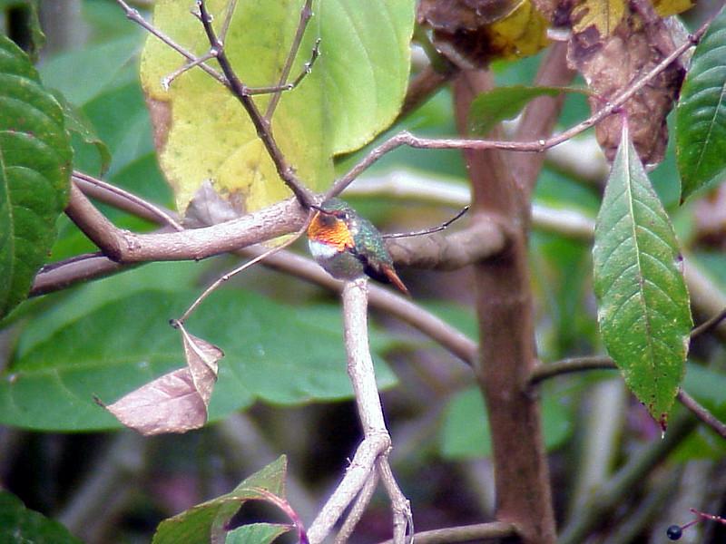 Scintillant Hummingbird male at Savegre Mountain Lodge Costa Rica 2-14-03 (50898274)