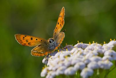 Dukatsommerfugl (Lycaena virgaureae)
