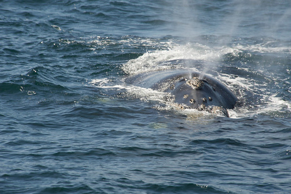 2010 Hermanus  - Souther Right Whales