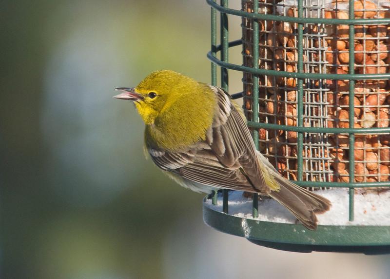 Warbler - Pine - Dunning Lake - Itasca County, MN