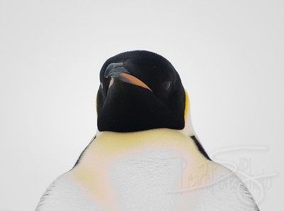 Emperor Penguin closeup