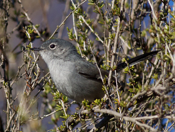 Blue-gray Gnatcatcher Polioptila caerulea