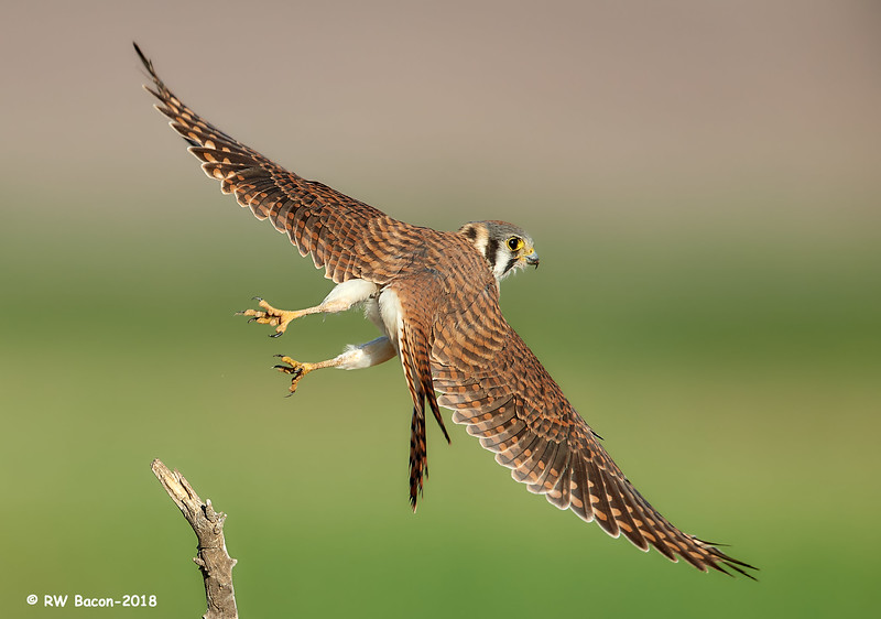 Lady Kestral Over the Shoulder.jpg