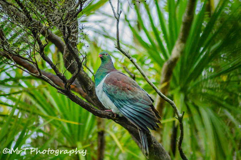 Kereru Wood pigeon Tiri Tiri Matangi