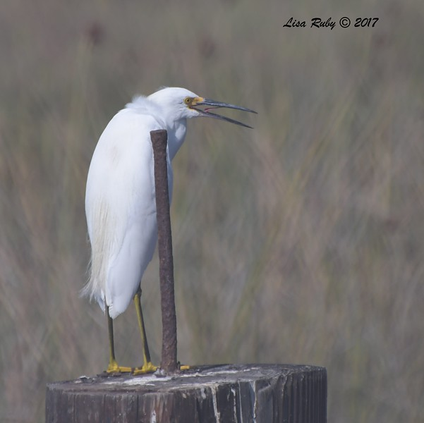 Snowy Egret - 10/10/2017 - Famosa Slough north