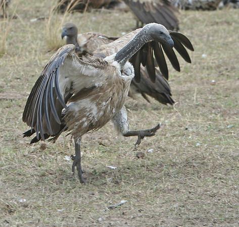 East Africa-Vultures
