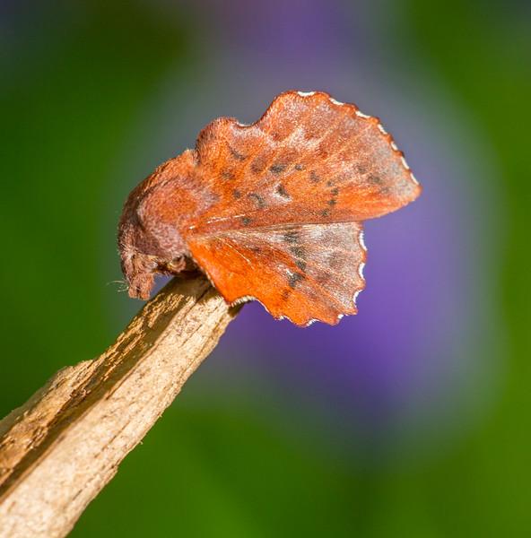 Phyllodesma americana American Lappet Moth 7687 Family Lasiocampidae Skogstjarna Carlton County MN  IMG_0741.jpg